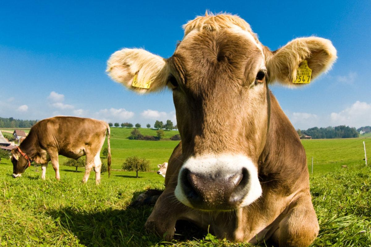 Die verschiedenen Milchkuhrassen